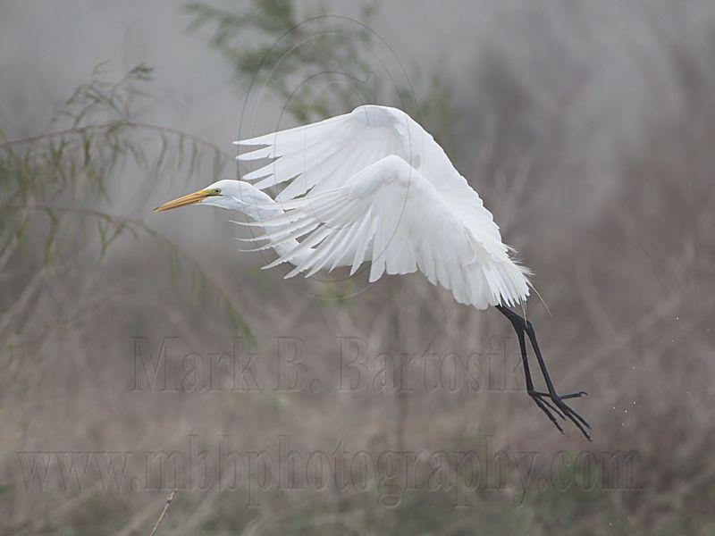 _MG_0642 Great Egret.jpg