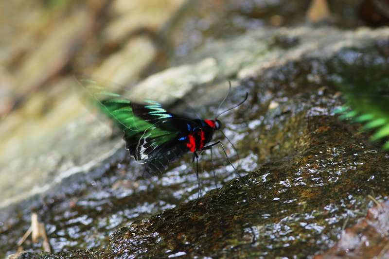 Raja Brooke Birdwing Butterfly  (Trogonoptera brookiana albescens)