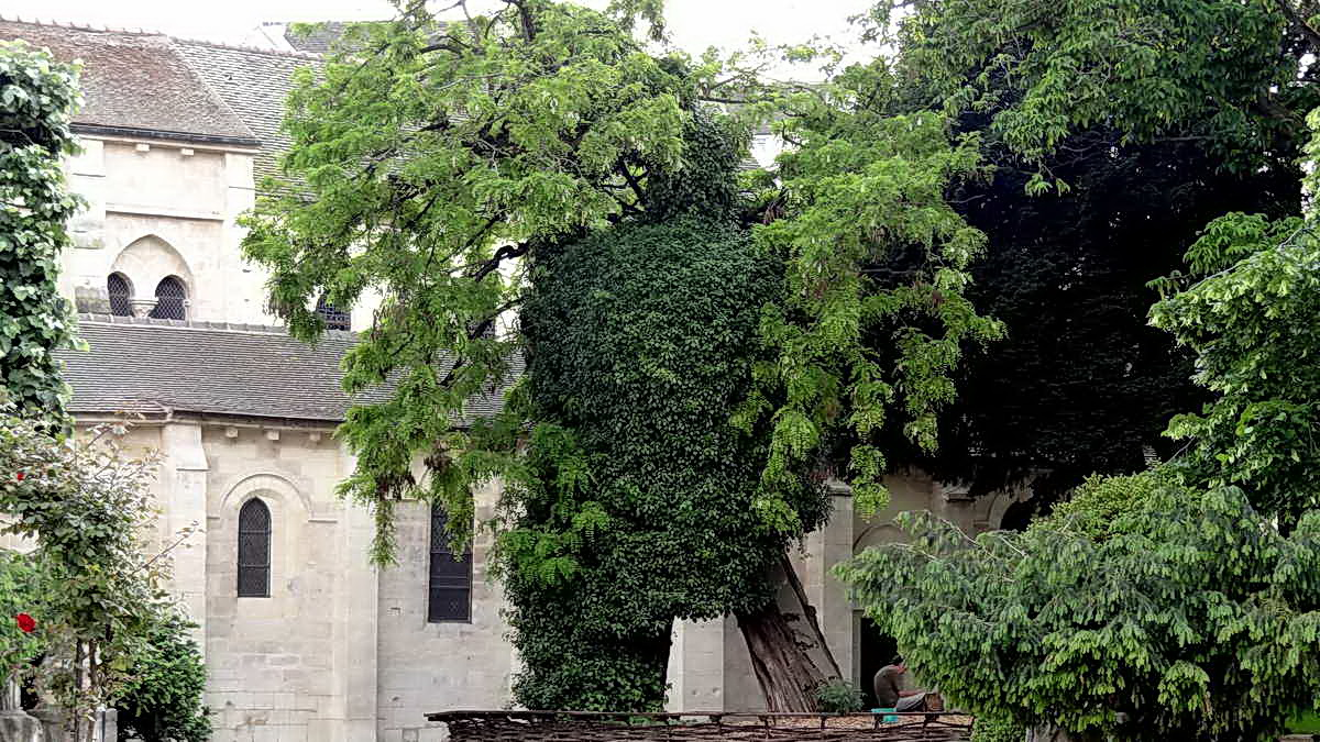 Le plus vieil arbre de Paris (planté en 1601)