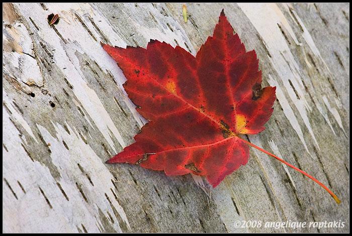 _ADR6629 red leaf wf.jpg