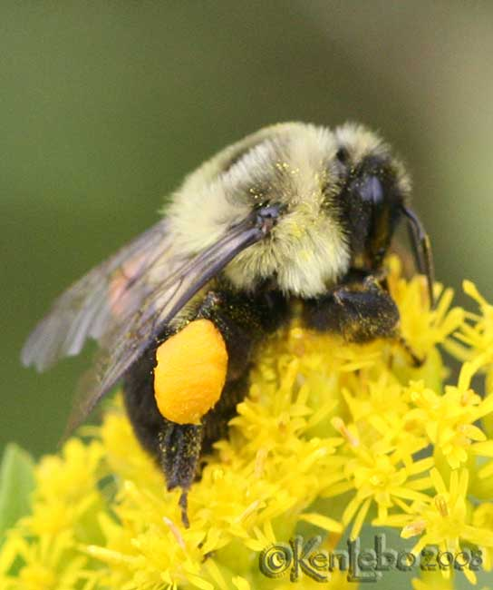 Bumble Bee with pollen Bombus vagans