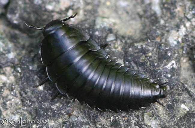 American Carrion Beetle Larva Photo Ken Lebo Photos At Pbase Com