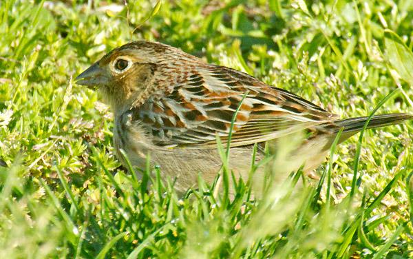 u-sparrow.jpg