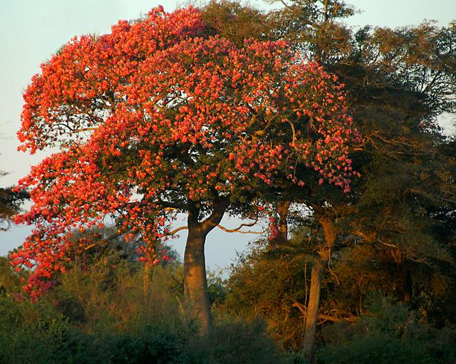 Blooming Toborochi near Pozo Verde