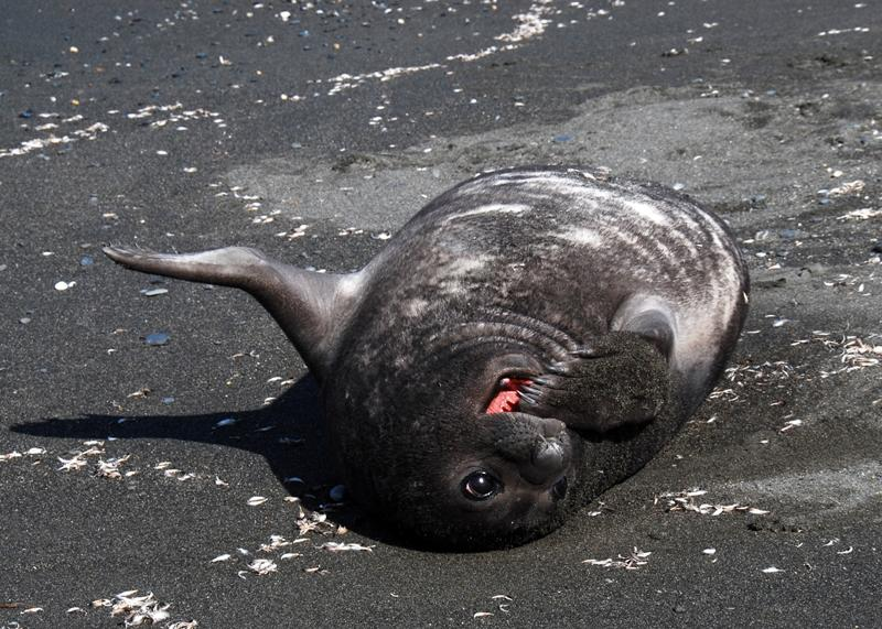Elephant Seal weaner pup