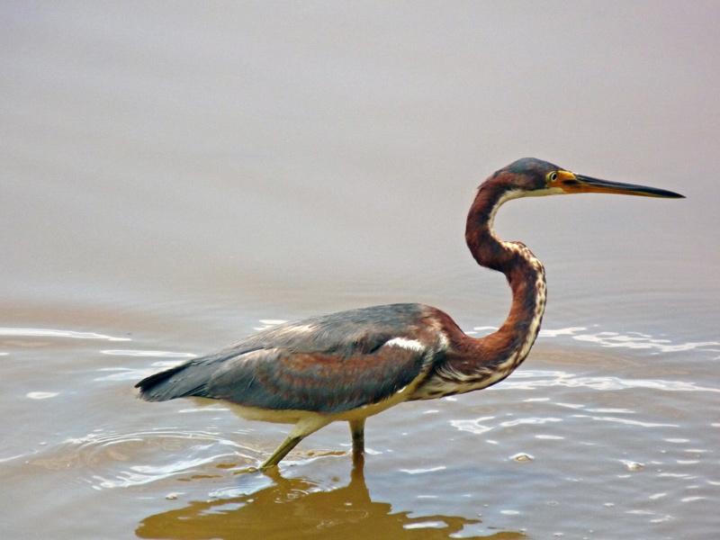 Tricolored Heron still fishing