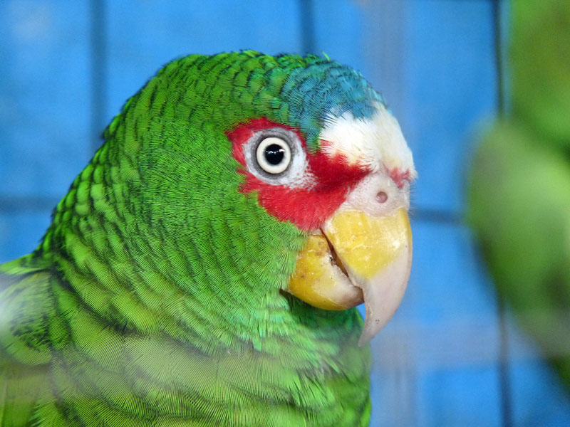 White Fronted Amazon Parrot - Butterfly Garden Roatan