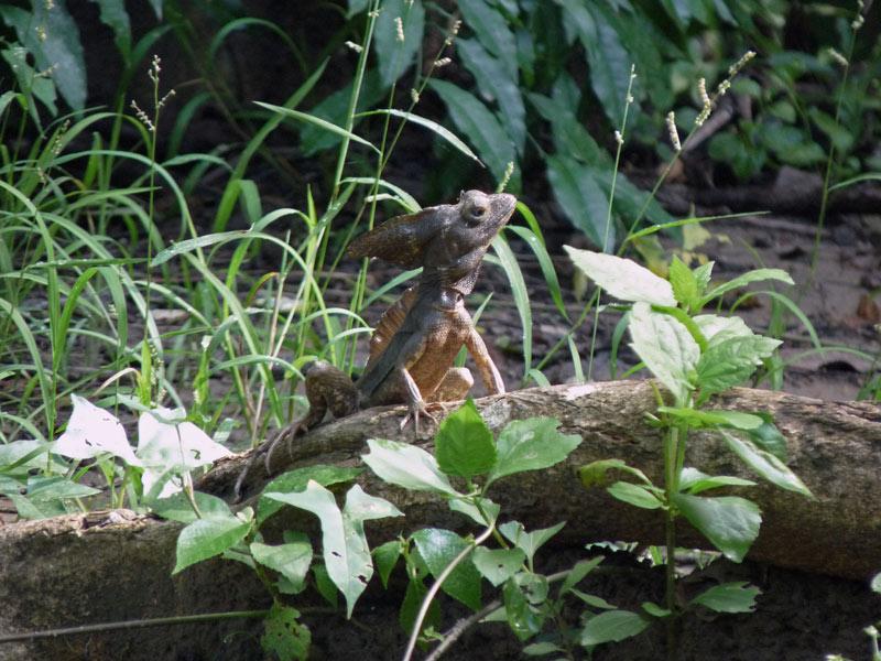 Monkey Lala (basilisk)