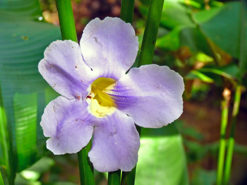 Orchids (Carambola Botanical Gardens)