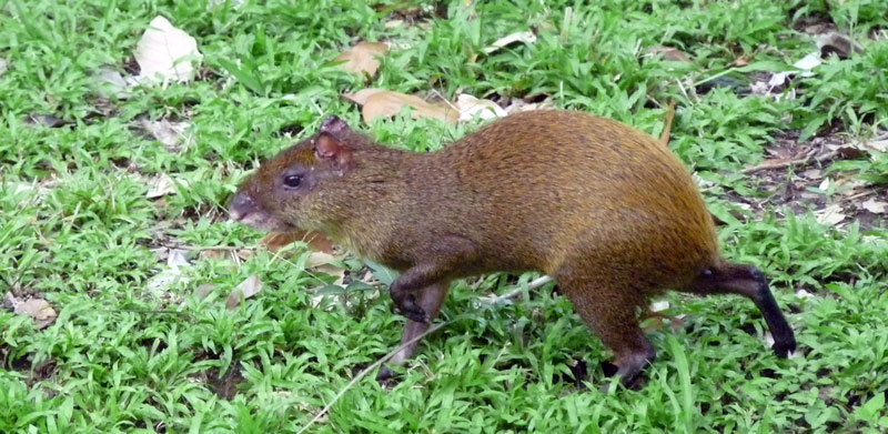 Referred to as a rabbit (an agoutis, related to the guinea pig)