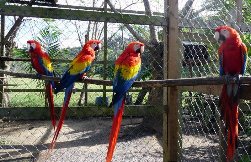 Scarlett Macaws - Victors Monkey Business