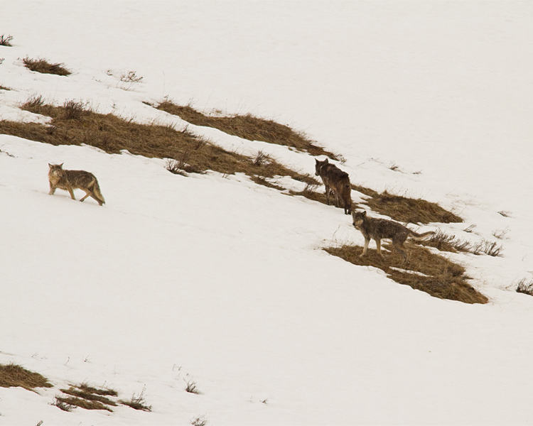 Wolves on the Snow in Lamar.jpg