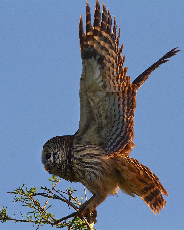 Barred Owl Wings Spread.jpg
