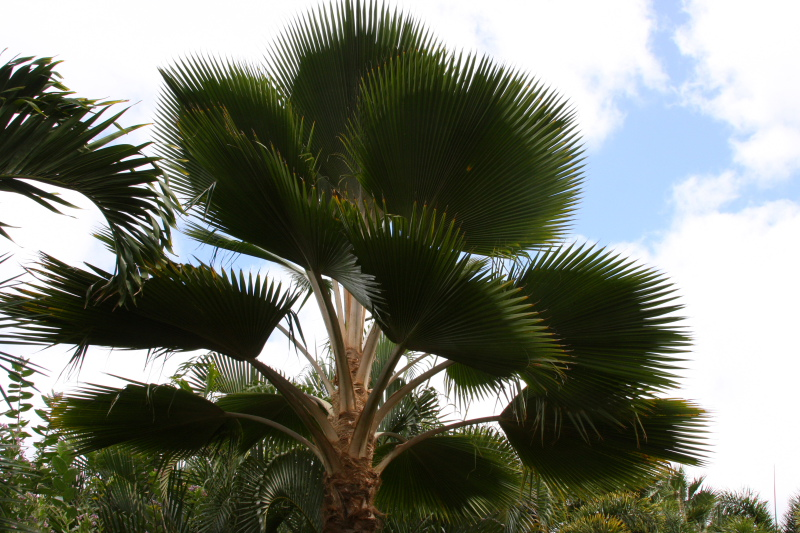 Wild Fig Palm, Hawaii, USA