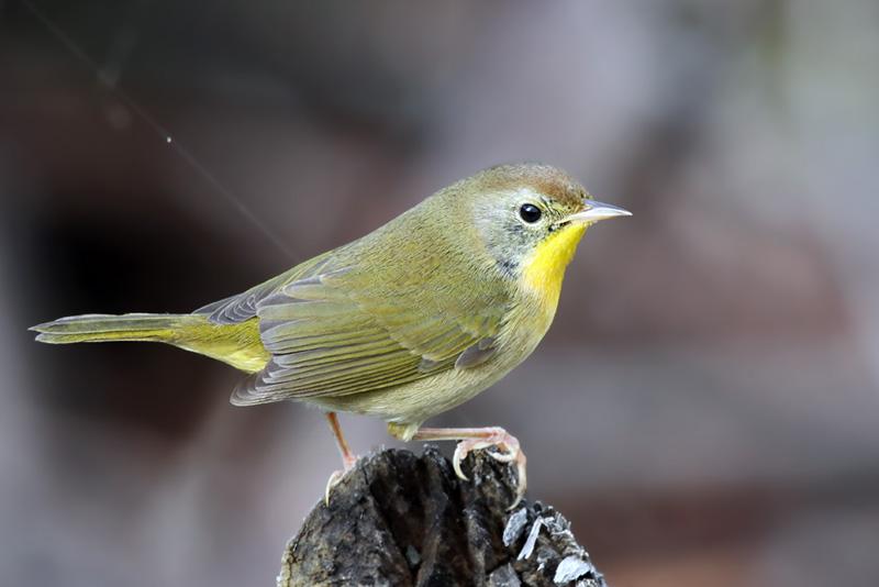 IMG_9484 Common Yellowthroat imm male.jpg