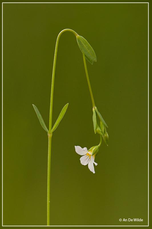 Geelhartje - Linum catharticum