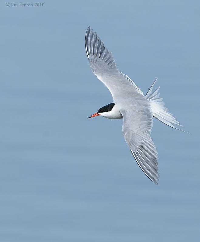 _NW00485 Common Tern Dorsal View