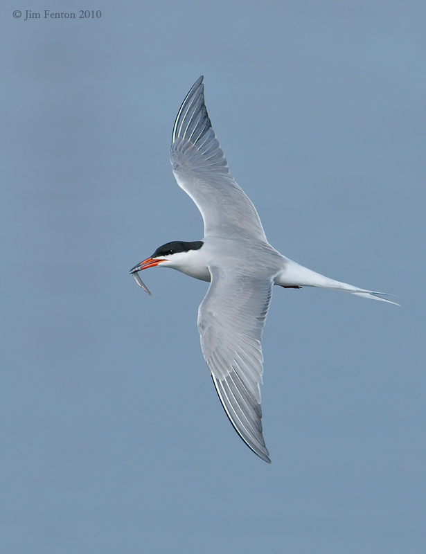 _NW00554 Common Tern In Flight With Prey