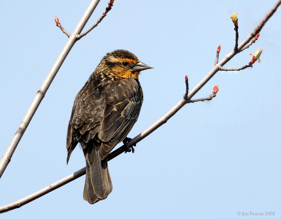 _NW83517 Red Wing Black Bird Female.jpg
