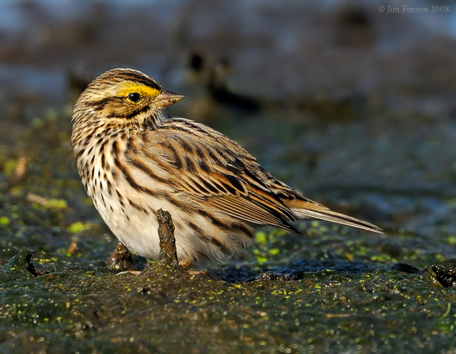 _NW83645 Savannah Sparrow