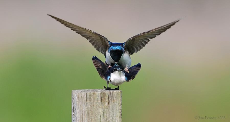 _NW83678 Tree Swallows Mating.jpg