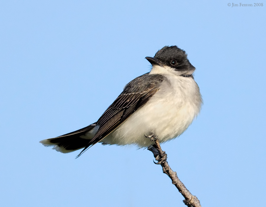 _NW85762 Eastern King Bird.jpg