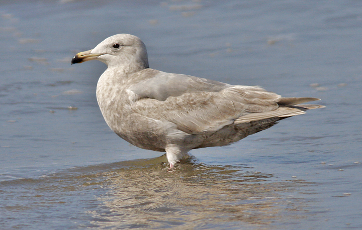 Glaucous-winged Gull, 2nd cycle (1 of 2)