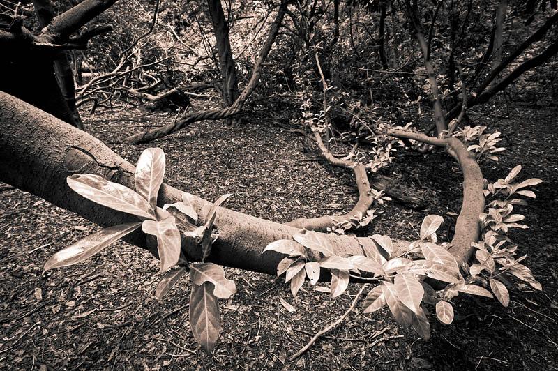 31-July-2011 Rhododendrun