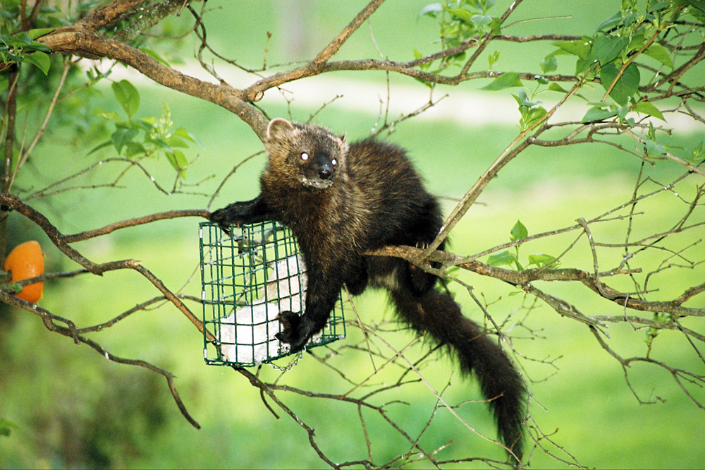 A Fisher Cat Photo Gallery By Daniel Keefe At Pbase Com