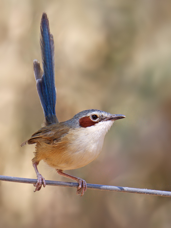 Female Purple-crowned Fairy-wren