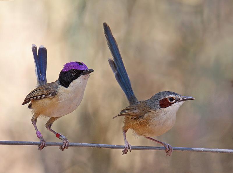 Purple-crowned Fairy-wrens