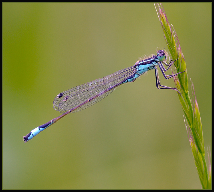 Lantaarntje - Blue Tailed  Damselfly