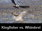 Kingfisher vs. Whimbrel