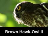 Brown Hawk-Owl - II