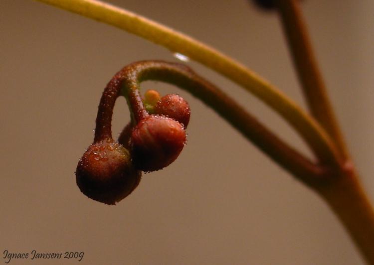 Drosera rupicola ( red form )