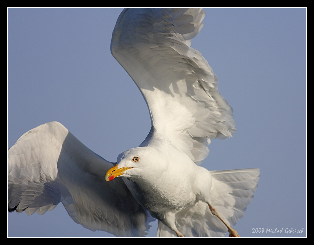 Herring Gull, Norway