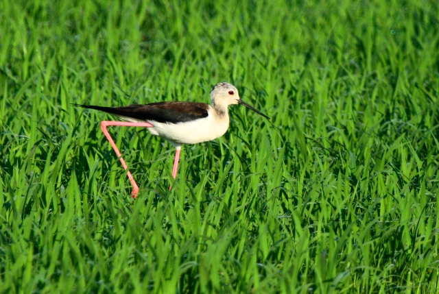 Black-winged Stilt - Himantopus himantopus - Cigüeñuela - Camesllargues - Canyut