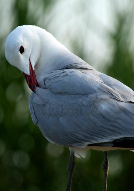 Audouins Gull - Larus audouinii - Gaviota de Audouin - Gavina Corsa