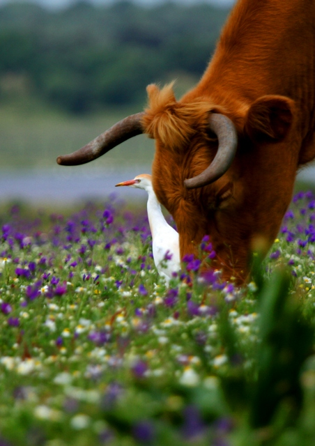 Cattle egret and a cow in the flowered spring in Doñana - Garcilla bueyera