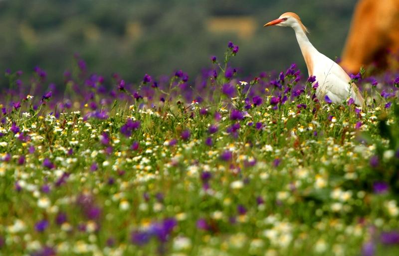Cattle egret in the flowered spring in Doñana - Esplugabous