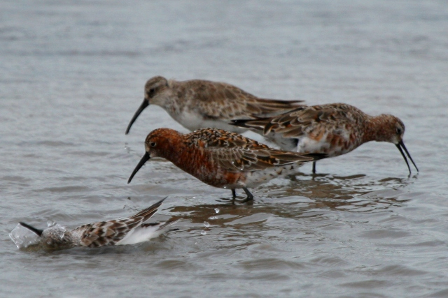 Curlews sandpipers in different plumages