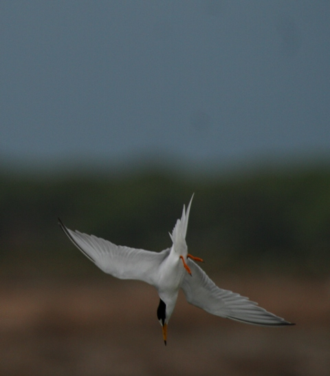 Little Tern - Sterna albifrons - Charrancito - Xatrac menut