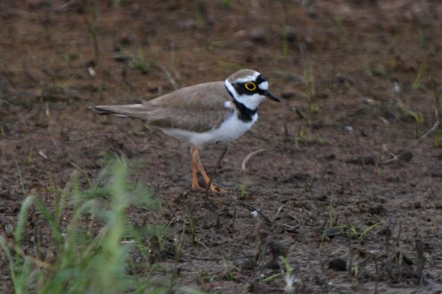 Little ringed Plover - Charadrius dubius - Chorlitejo chico - Corriol petit