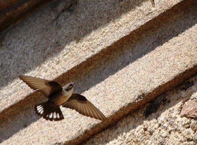 Crag martin - Ptyonoprogne rupestris - Avión roquero - Roquerol - Hirondelle de rochers