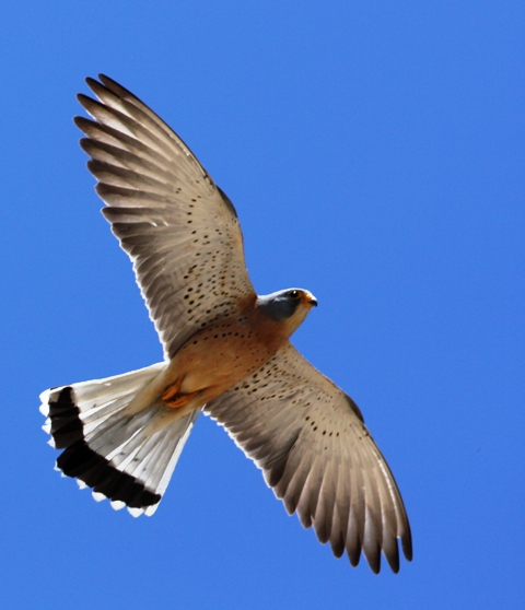 Lesser kestrel - Falco naumani - Cernicalo primilla - Xoriguer petit