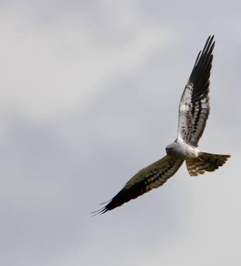 Montagus Harrier - Circus pygargus - Aguilucho cenizo - Esparver cendrós