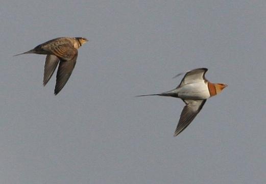 Pintail sandgrouse - Pterocles alchata - Ganga