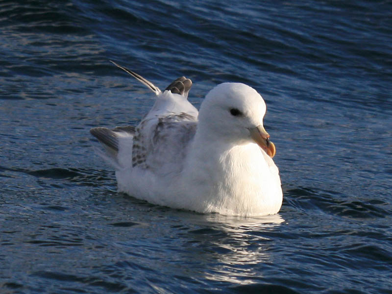 Northern Fulmar light phase