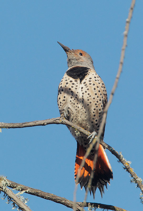 Northern Flicker, female Red-shafted