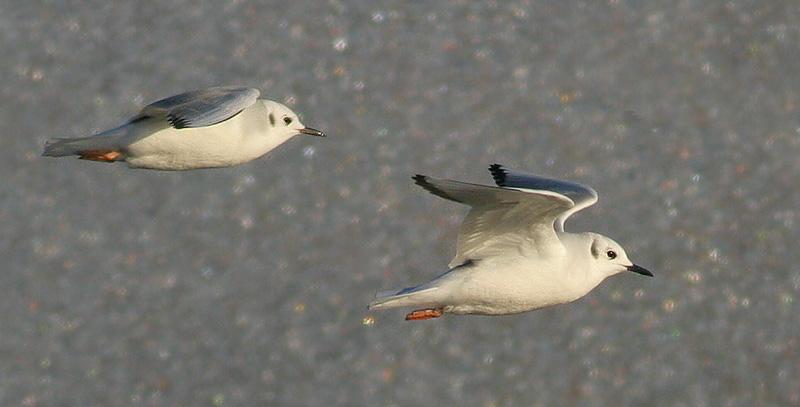 Bonapartes Gulls, winter